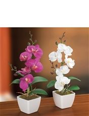 Authentic Orchid Plant Set of 2