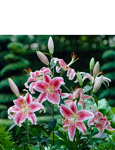 Fragrant Oriental Lily Bulbs Pack of 25