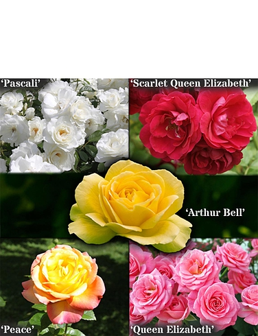 The Garden Glamour Repeat Flowering Rose Collection