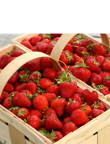 Strawberry Cambridge Favourite Pack of 20